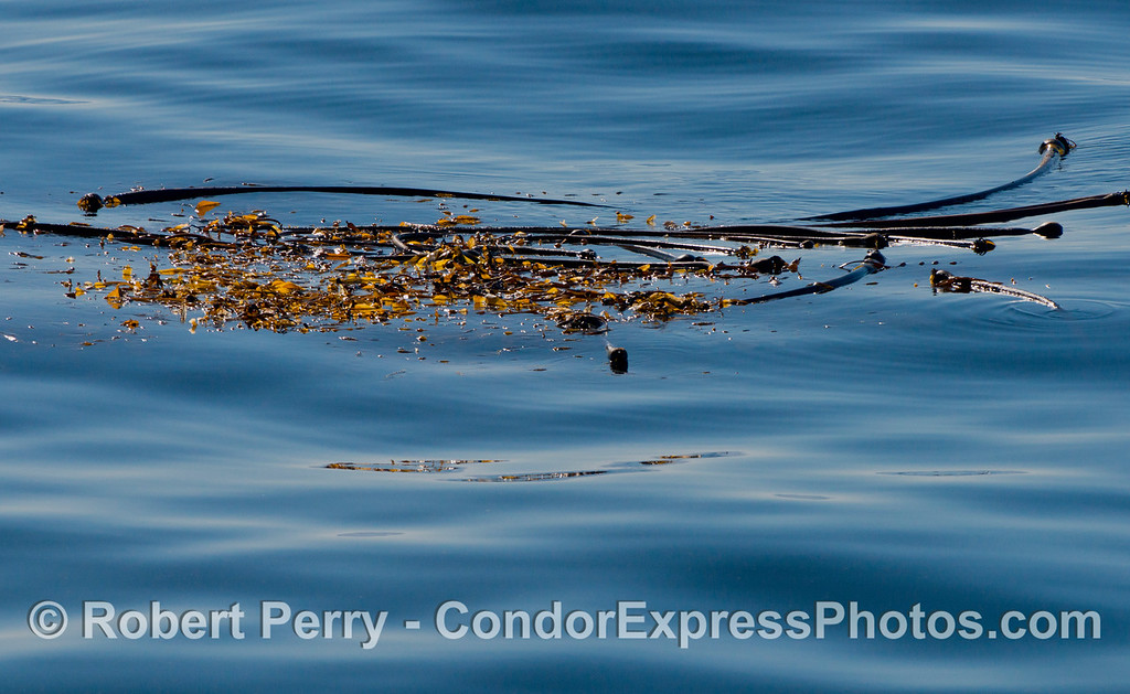 A drifting kelp paddy made up of giant kelp and bull kelp (Macrocystis pyrifera and Nereocystis lutkeana) floats on a glassy ocean surface.