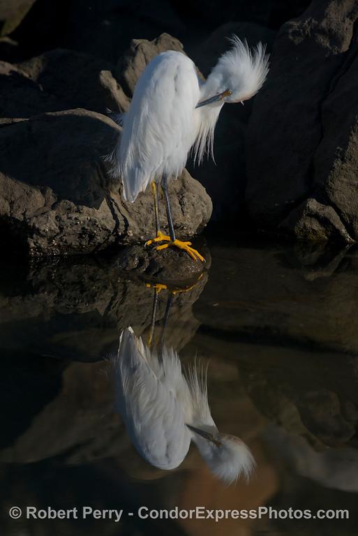 Egretta thula at waters edge 2013 01-03 SB Harbor-012