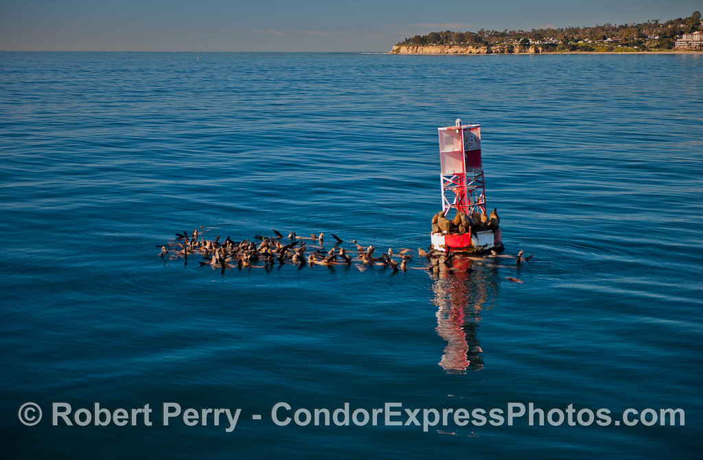 Zalophus californianus buoy 2013 01-04 SB Harbor-a-004