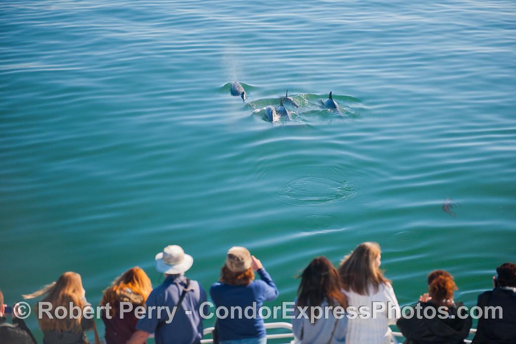 Tursiops truncatus coasta & passengers 2013 01-04 SB Channel-a-006