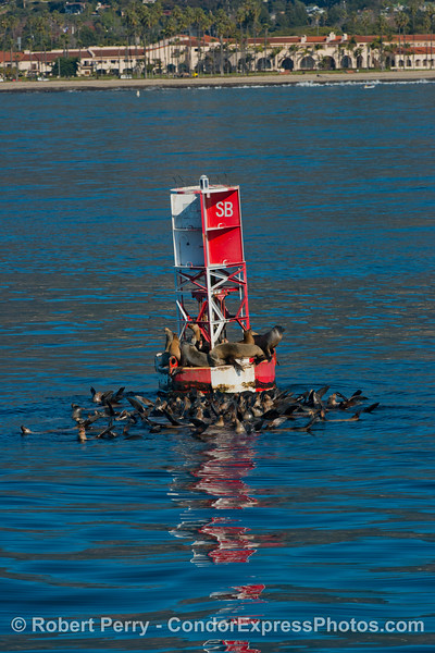 Zalophus californianus buoy 2013 01-04 SB Harbor-062