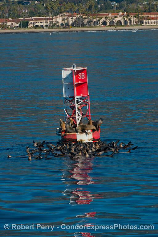 Zalophus californianus buoy 2013 01-04 SB Harbor-062