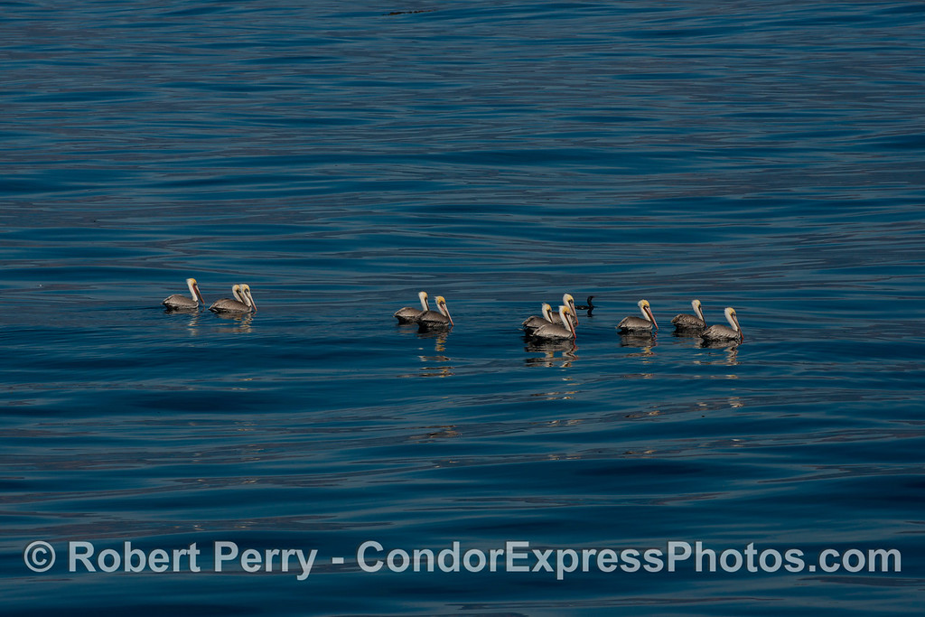 Pelecanus occidentalis flock on water 2013 01-05 SB Channel-160