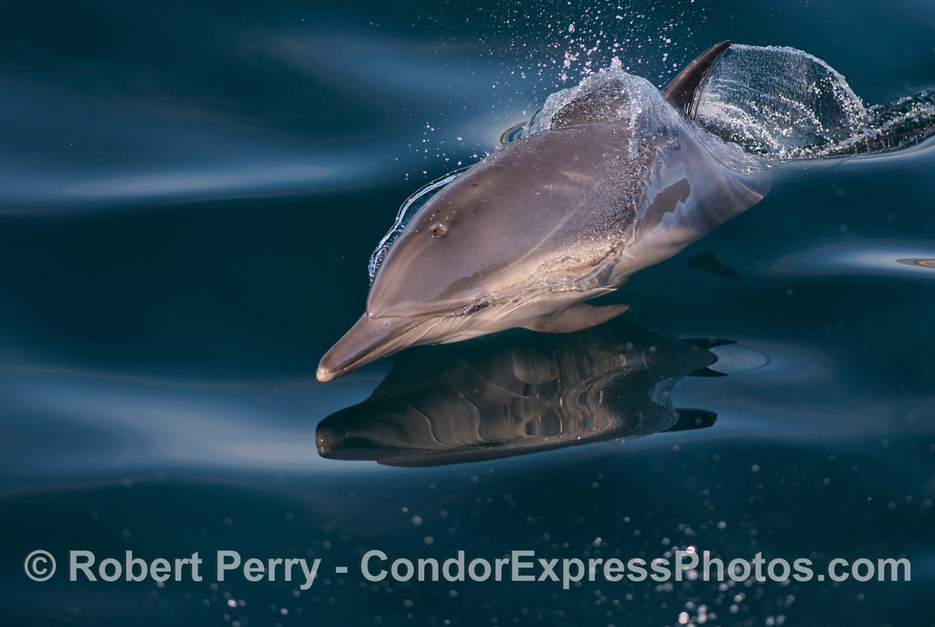 Delphinus capensis 2013 01-05 SB Channel-009