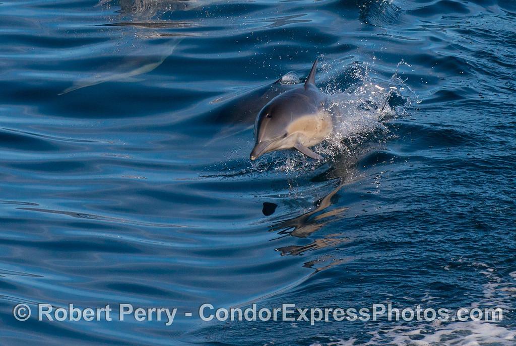 Delphinus capensis leaping 2013 01-05 SB Channel-013