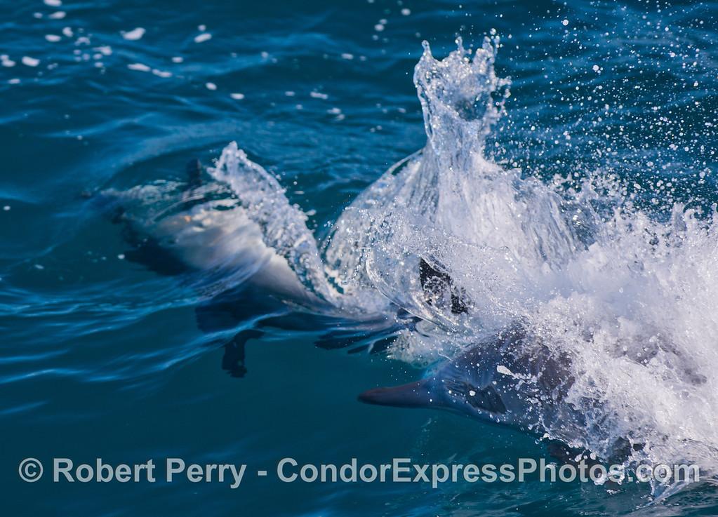Delphinus capensis 2 tail smack 2013 01-12 SB Channel-074