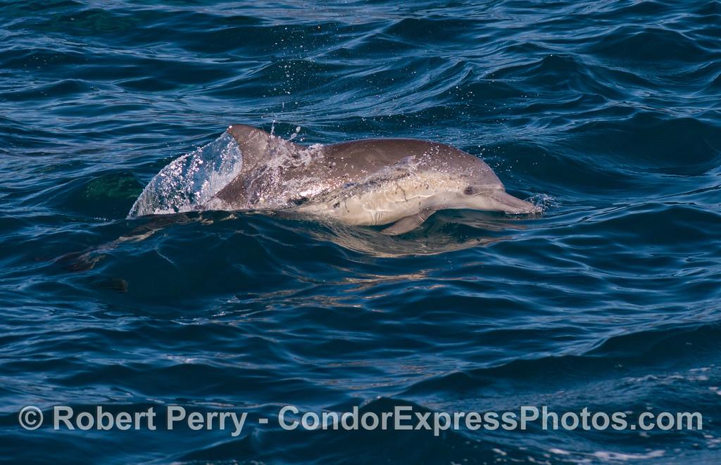 Delphinus capensis 2013 01-12 SB Channel-011