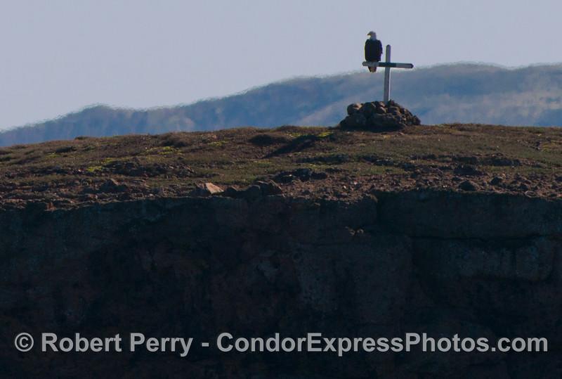 Haliaeetus leucocephalus on cross Fraser Point 2013 01-12 Sta Cruz Island-017