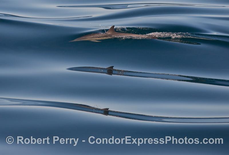 Delphinus capensis reflections 2013 01-19 SB Channel-011