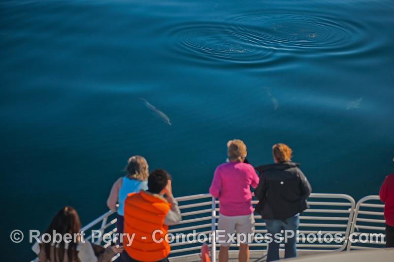 Delphinus capensis & passengers 2013 01-19 SB Channel-a-007