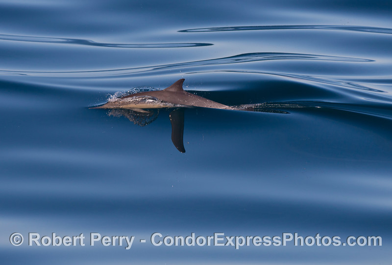 Delphinus capensis 2013 01-19 SB Channel-010