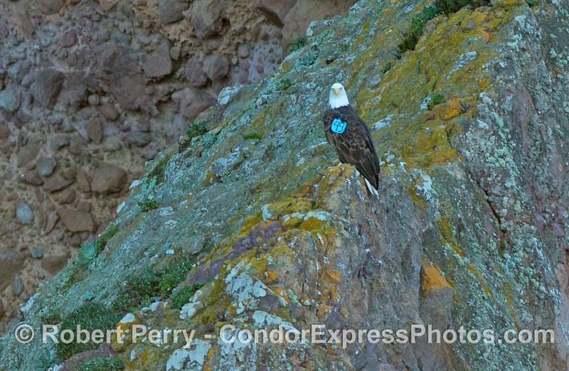 Haliaeetus leucocephalus Blimp Hanger Cave 2013 01-21 Sta Cruz Island-004