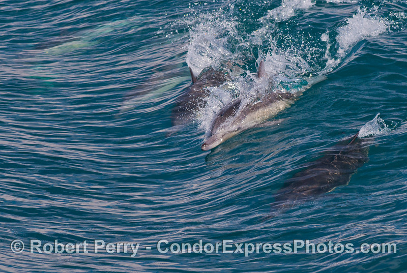 Everybody's goin' surfing!  Long beaked common dolphins (<em>Delphinus capensis</em>) having fun.