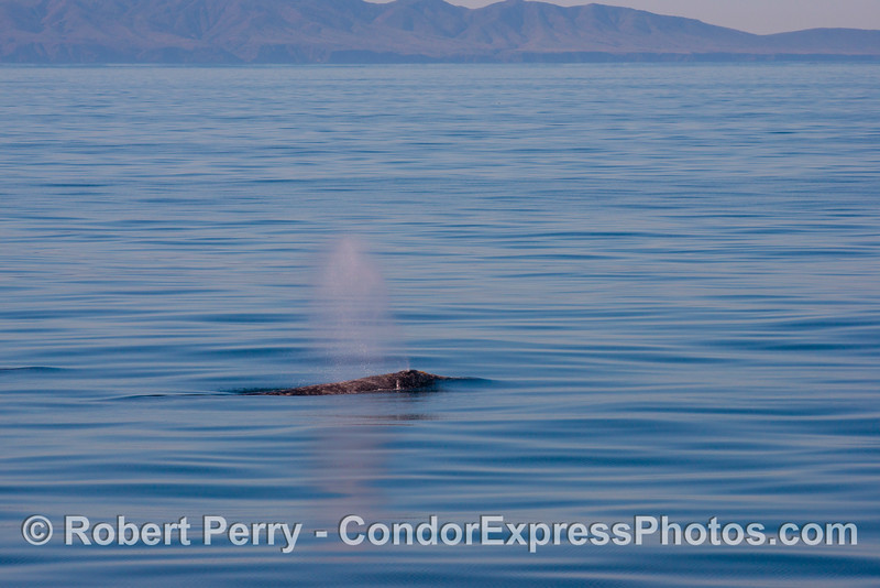 A spouting gray whale (<em>Eschrichtius robustus</em>) with Santa Cruz Island in the back.