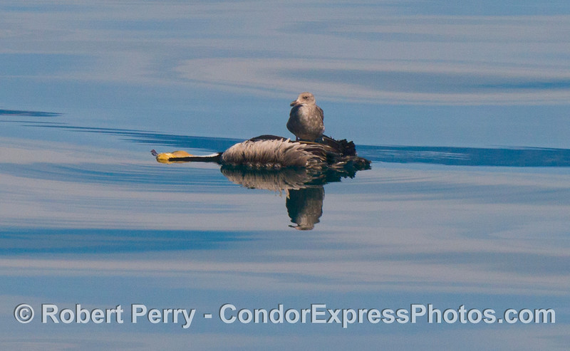 A juvenile gull (<em>Larus</em> sp) is seen perched on the floating carcass of a deceased brown pelican (<em>Pelecanus occidentalis</em>).