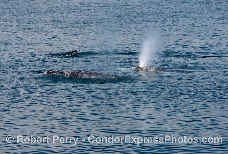 A cluster of northbound gray whales (<em>Eschrichtius robustus</em>).