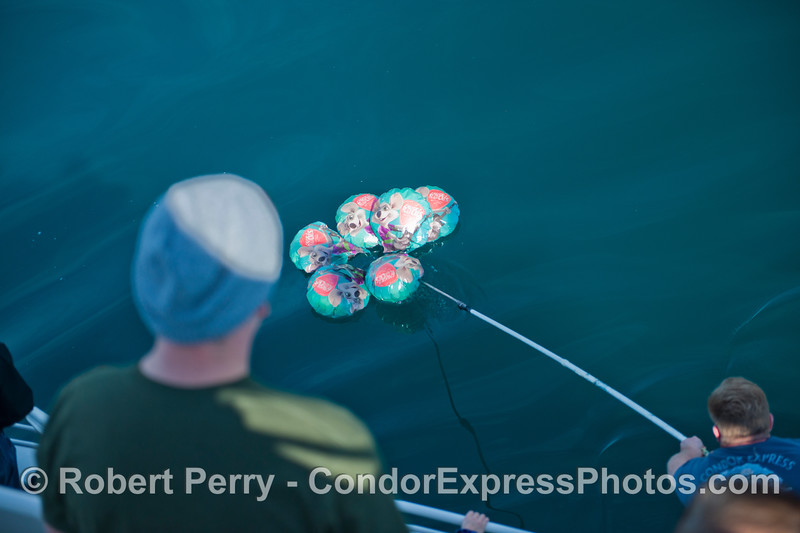 Deckhand Matt R. gaffs the mylar balloons and removes them from the beautiful Pacific Ocean.  Way to go, Matt!