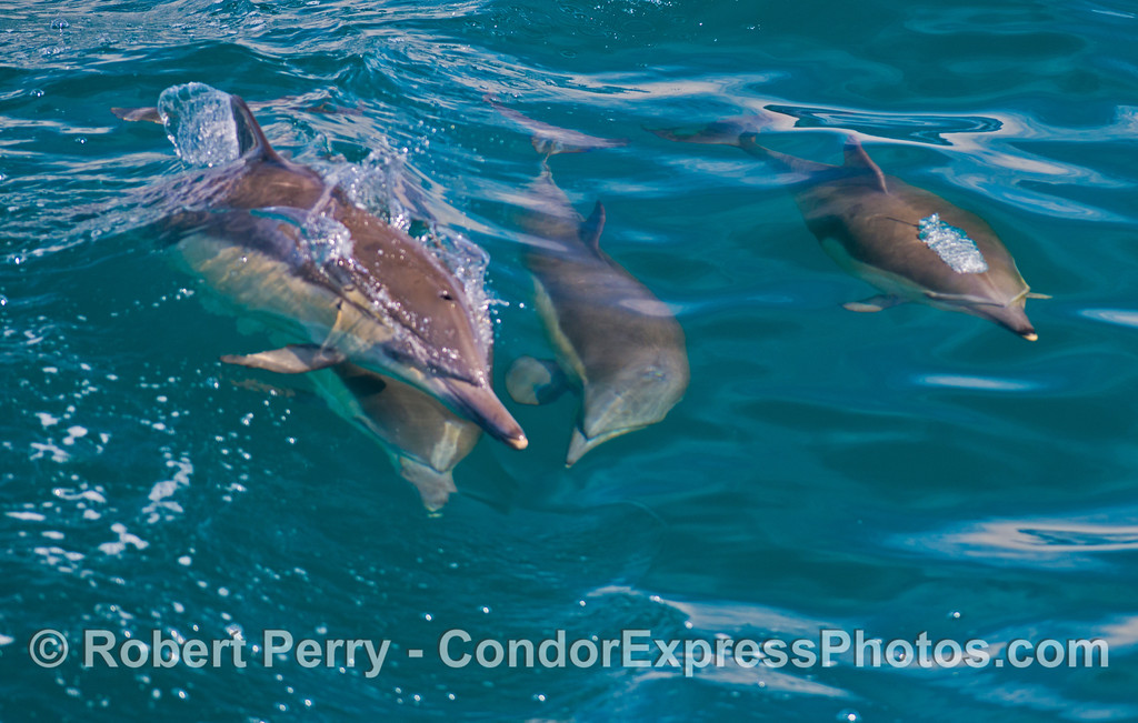 A group of long beaked common dolphins (<em>Delphinus capensis</em>) cavort in the waves.