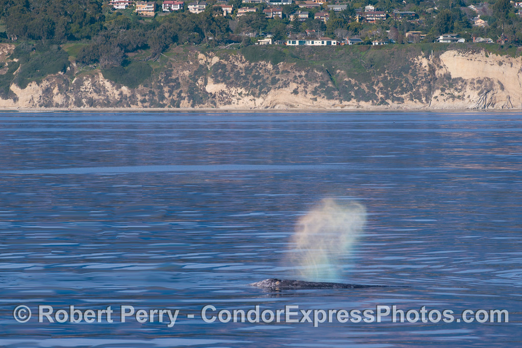 A coastal northbound gray whale (<em>Eschrichtius robustus</em>) with rainbow tones in its spout.