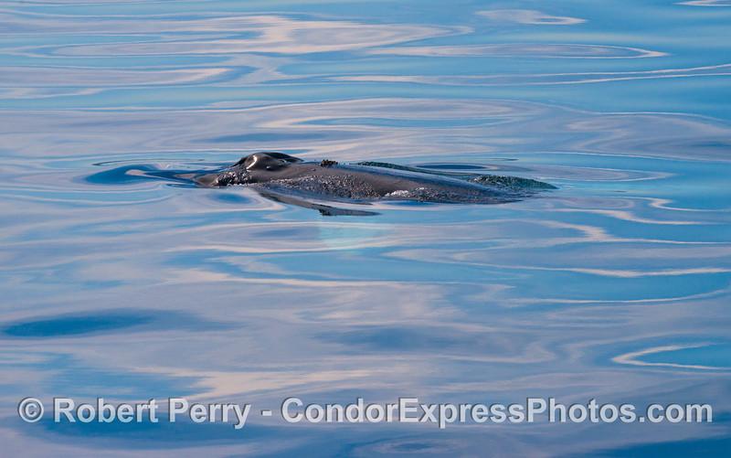 A humback whale (<em>Megaptera novaeangliae</em>) in a big bowl of milk.