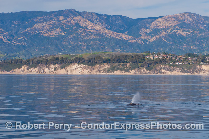 A gray whale (<em>Eschrichtius robustus</em>) with coastal bluffs and the mighty Santa Ynez moutain range in back.