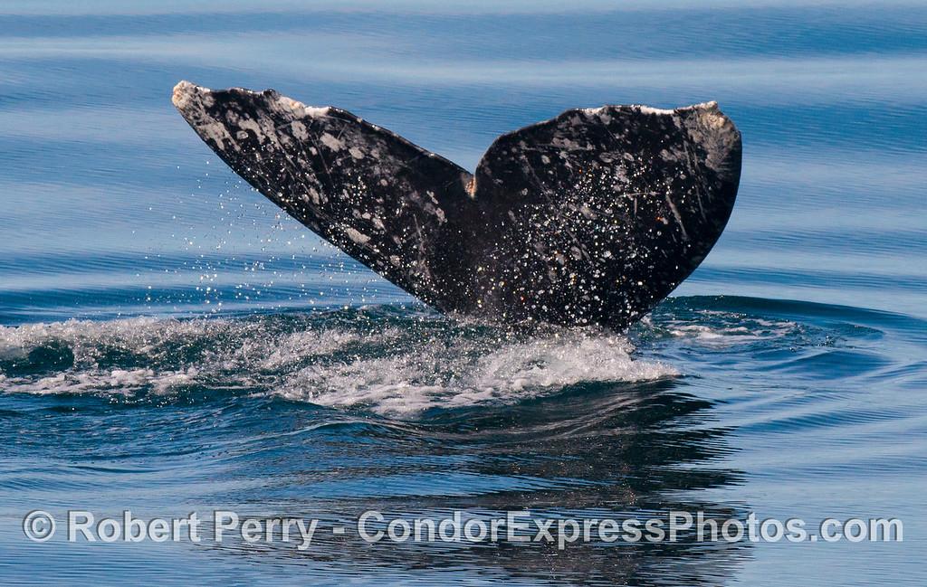 Tail fluke of a gray whale (<em>Eschrichtius robustus</em>).