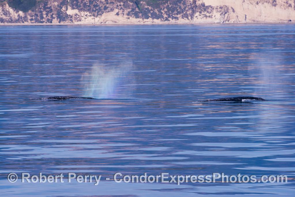 Gray whales (<em>Eschrichtius robustus</em>) hug the western Santa Barbara coast.