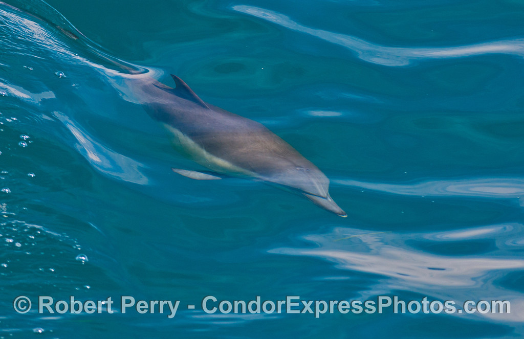 Long beaked common dolphin (<em>Delphinus capensis</em>) seen underwater.