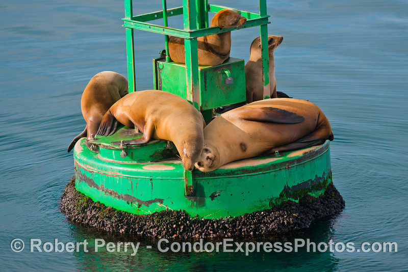 Best buddies.  Two California Sea Lions (<em>Zalophus californianus</em>) rest their heads together as they enjoy the warm sun on the harbor entrance buoy at Santa Barbara.