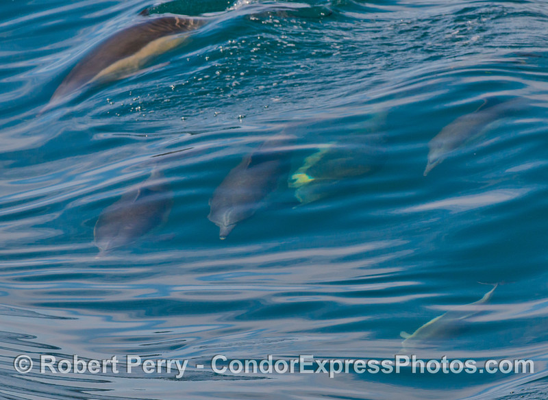 A look at several long beaked common dolphins (<em>Delphinus capensis</em>) under water.