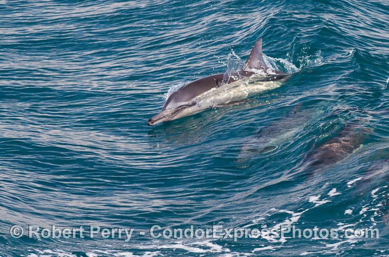 Long beaked common dolphin (<em>Delphinus capensis</em>).