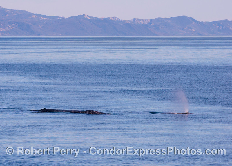 Gray whales (<em>Eschrichtius robustus</em>) with the Santa Ynez mountains of the mainland coast in the back.