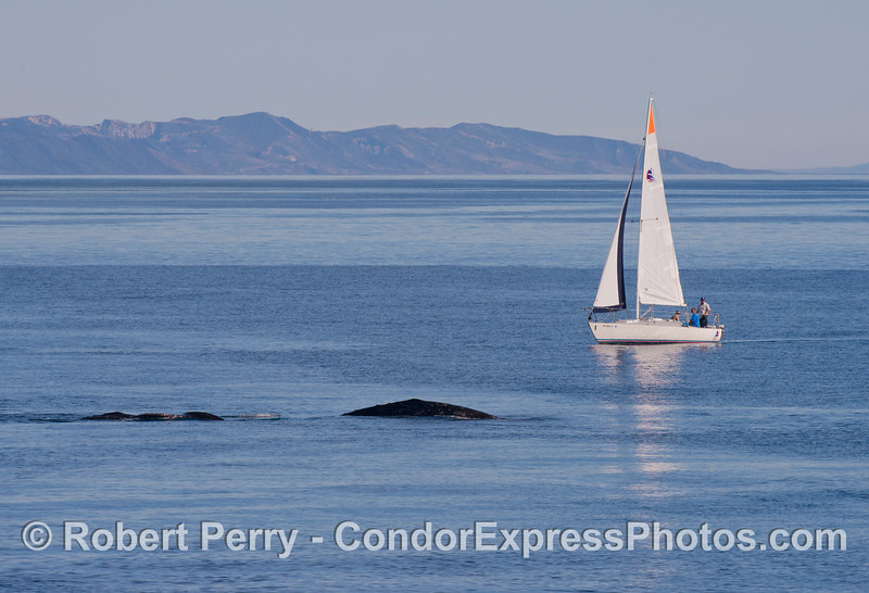 A sailboat encounters our gray whales (<em>Eschrichtius robustus</em>).  The Santa Ynez mountains of the eastern Santa Barbara County coast can be seen in the back.