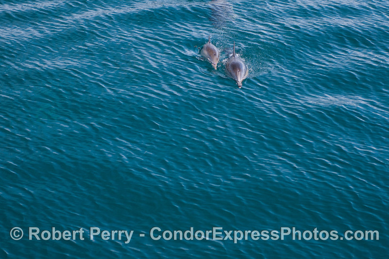 Two long beaked common dolphins (<em>Delphinus capensis</em>) on a rippled turquoise ocean.
