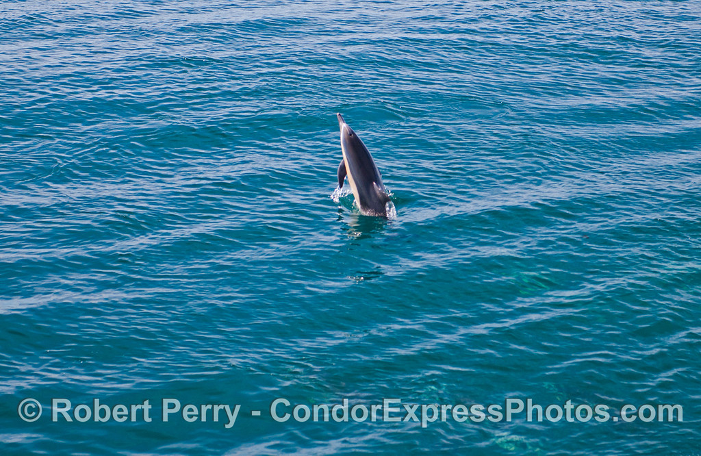 A leaping long beaked common dolphin (<em>Delphinus capensis</em>).
