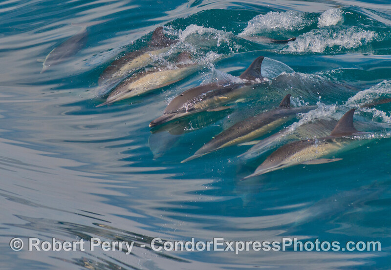 A group of surfers ride a wave together.  Long beaked common dolphins (<em>Delphinus capensis</em>).