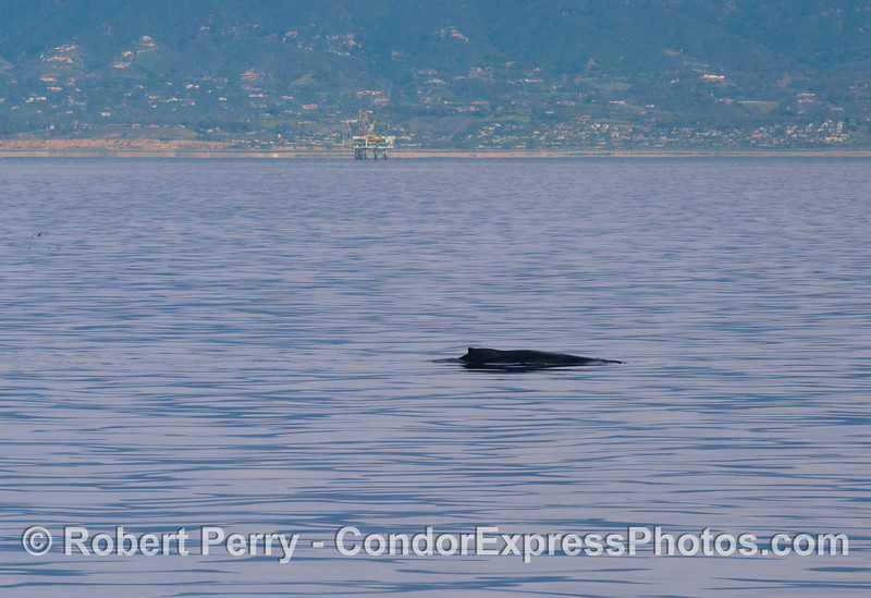 A  humback whale (<em>Megaptera novaeangliae</em>) with the coast of Santa Barbara seen in back.