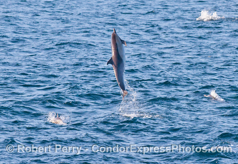 A long beaked common dolphin (<em>Delphinus capensis</em>) shows off by getting fully airborne.
