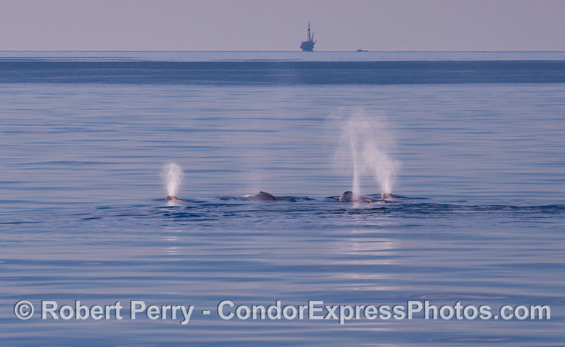 Four northbound gray whales (<em>Eschrichtius robustus</em>) on a mirror glass sea.  Platform Holly and her crew boat are seen in the distance.