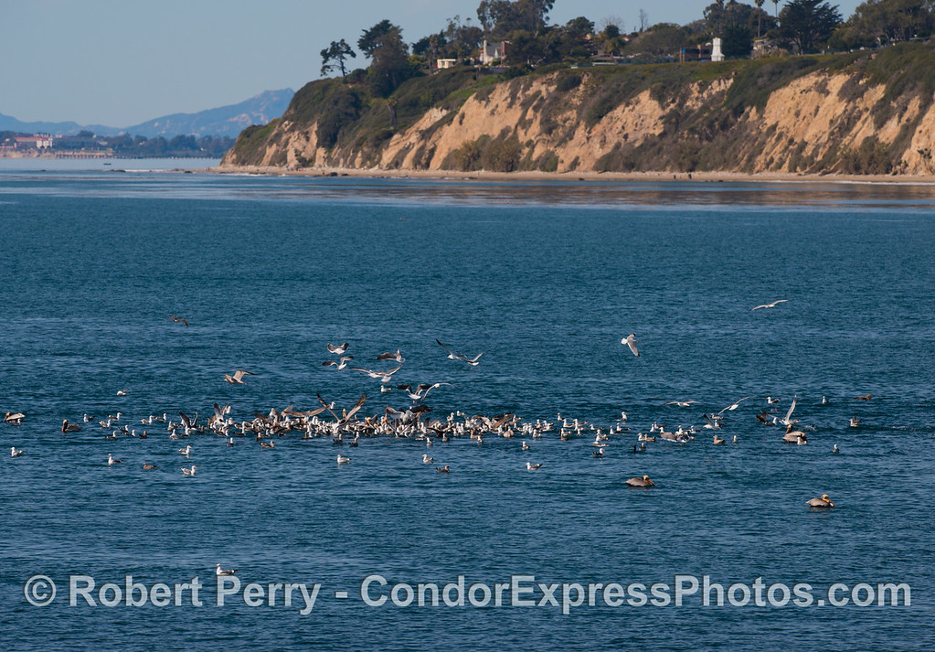 "A small school of bait fish is being attacked by a mass of sea birds in a feeding hot spot.  The Santa Barbara light ""house"" (white tower) is seen on the top of the cliff."