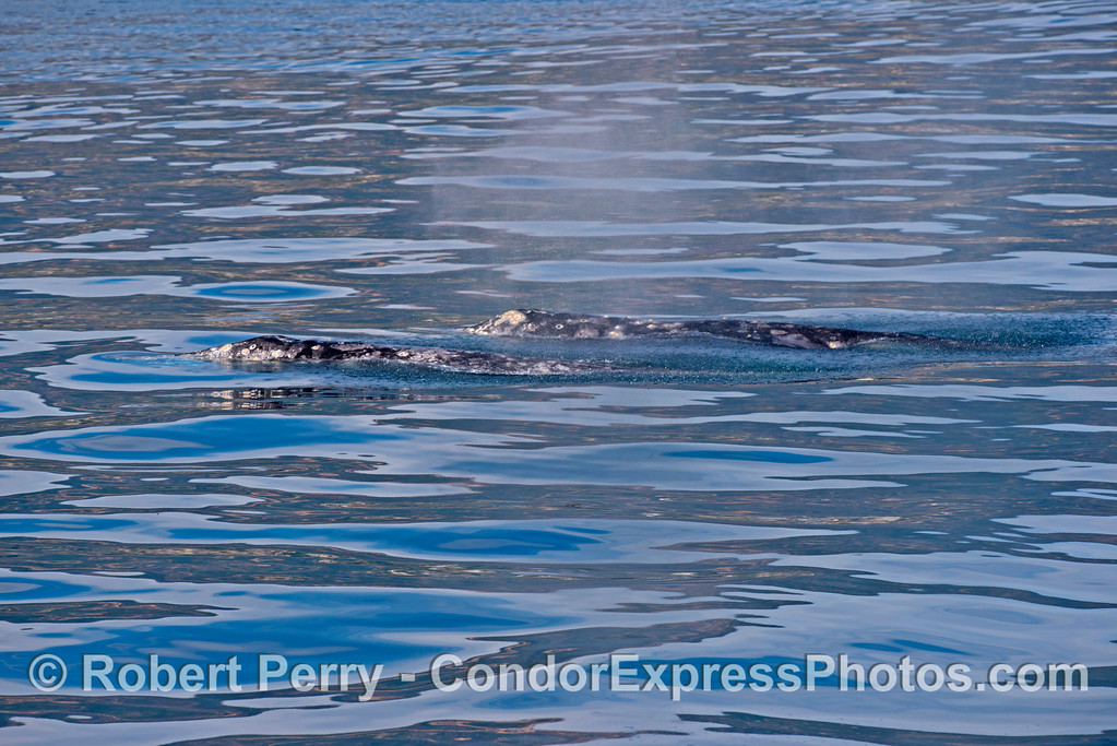 Two gray whales (<em>Eschrichtius robustus</em>) on a rippled glass ocean.