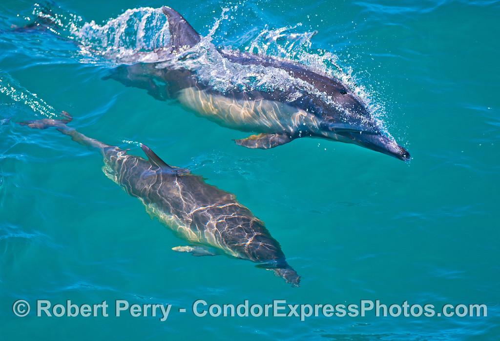Delphinus capensis 2013 02-23 SB Coast-069