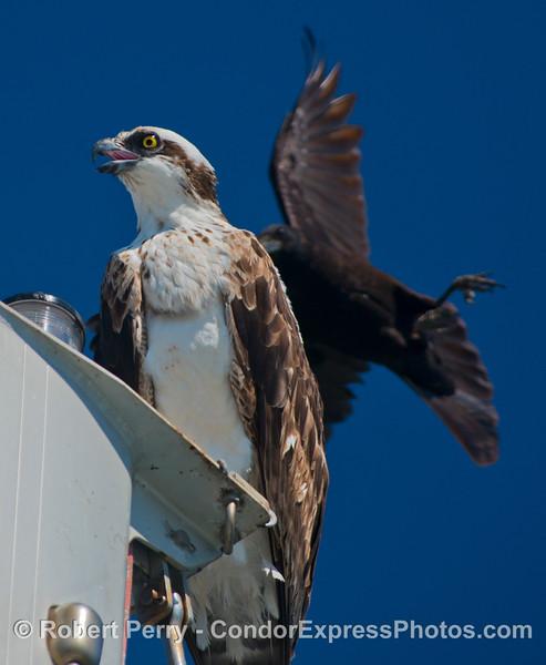 Pandion haliaetus on masthead & Corvus 2013 03-10-SB Harbor-149