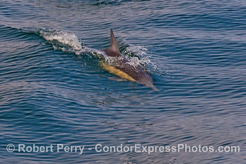 Delphinus capensis 2013 03-17 SB Coast-013