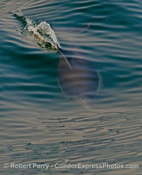 Delphinus capensis 2013 03-17 SB Coast-017