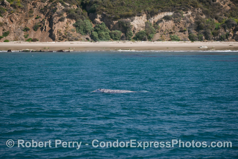 Another beach-loving gray whale (<em>Eschrichtius robustus</em>) migrating north.