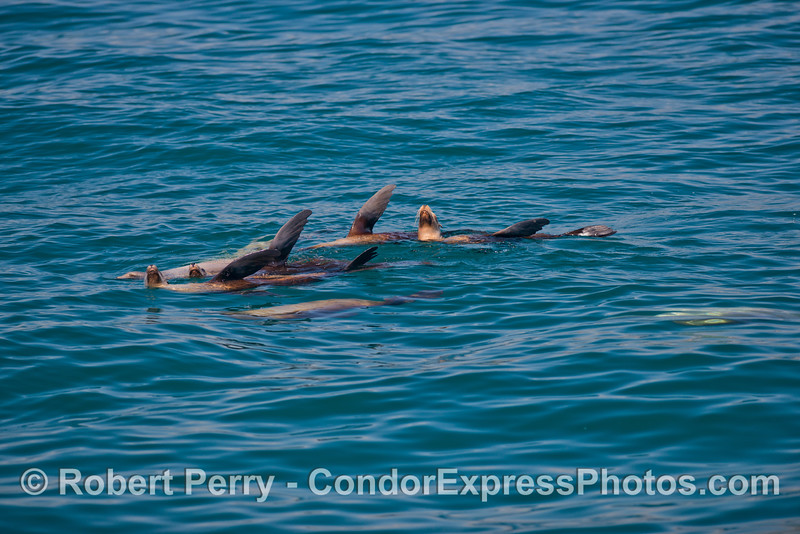A few members of the local California sea lion pack (<em>Zalophus californianus</em>).