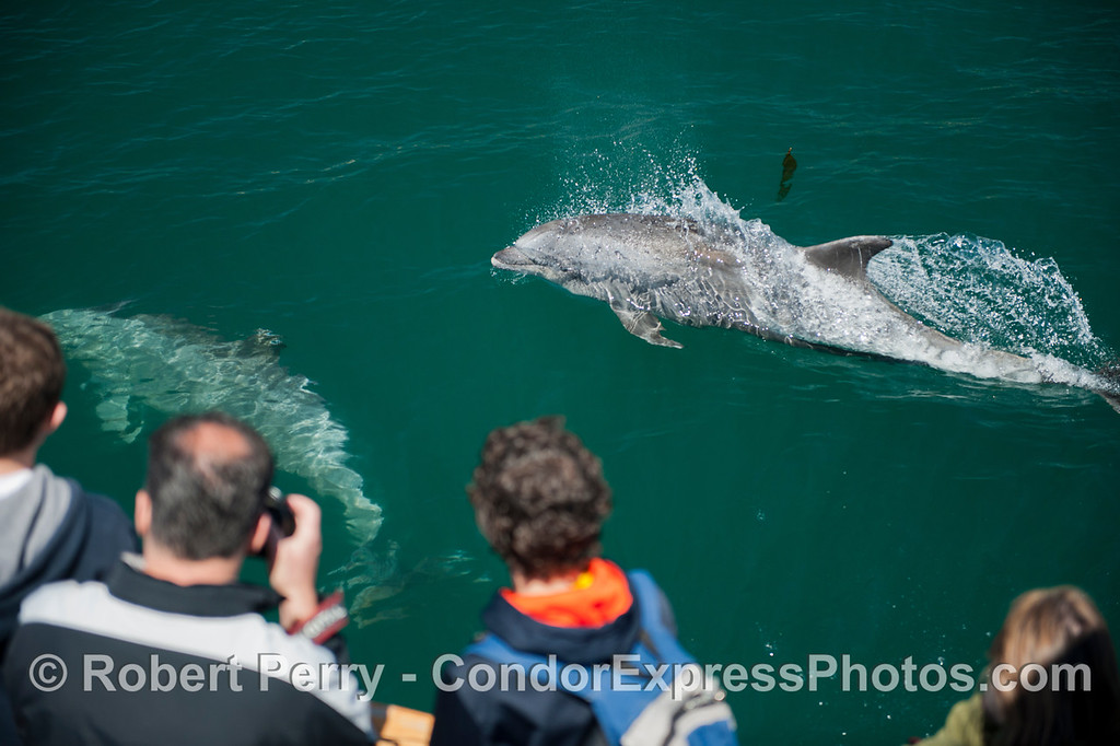 A large inshore bottlenose dolphin (<em>Tursiops truncatus</em>) rides alongside the Condor and takes a look at the whale watchers.
