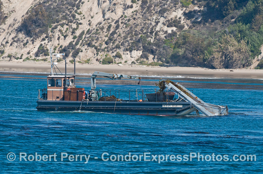 """One of two images of the kelp harvesting vessel """"Ocean Harvest"""" at work along the giant kelp beds (<em>Macrocystis pyrifera</em>) off the Santa Barbara coast.  The """"Ocean Harvest"""" and its sister ship """"Ocean Rose"""" gather kelp to feed abalones (<em>Haliotis</em> sp.) being farmed at Cayucos, California.  This is the only reason kelp is harvested these days."""