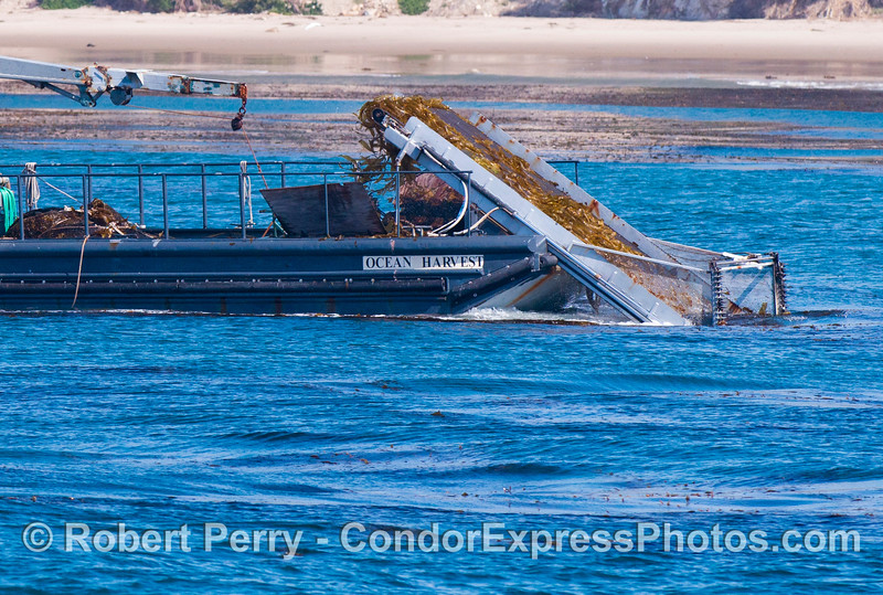 """A closer look at the kelp harvesting vessel """"Ocean Harvest"""" gathering giant kelp (<em>Macrocystis pyrifera</em>) off the Santa Barbara coast.  The """"Ocean Harvest"""" and its sister ship """"Ocean Rose"""" gather kelp to feed abalones (<em>Haliotis</em> sp.) being farmed at Cayucos, California.  This is the only reason kelp is harvested these days."""